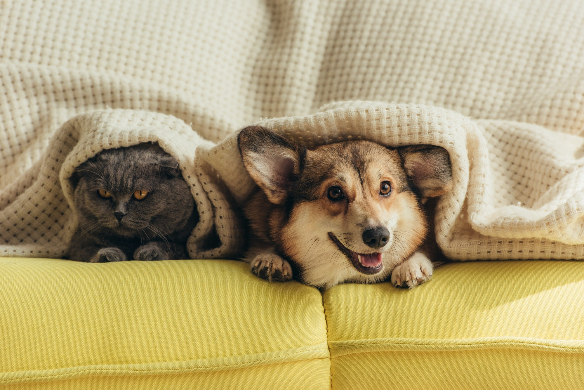 gos i gat al sofa tapats amb una manta